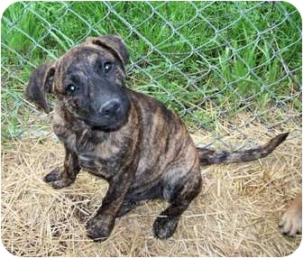 Black Mouth Cur/Labrador Retriever Mix Puppy for adoption in Waller, Texas - Rocco