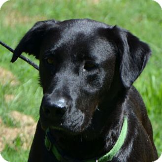 Labrador Retriever Mix Dog for adoption in Hagerstown, Maryland - Ashley(reduced fee $300)