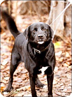 Labrador Retriever/Akita Mix Dog for adoption in Colville, Washington - Hunter