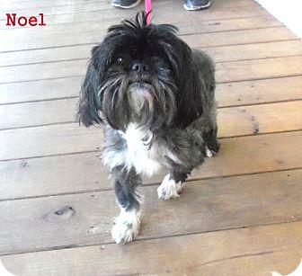 Shih Tzu Mix Dog for adoption in Slidell, Louisiana - Noel