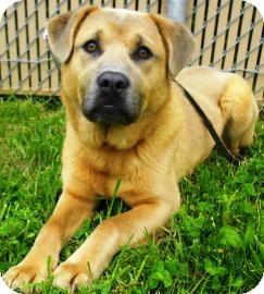 Chow Chow/Labrador Retriever Mix Dog for adoption in Lincolnton, North Carolina - Walter