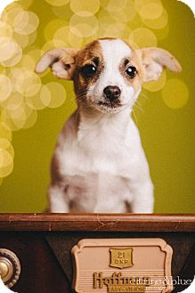 Jack Russell Terrier Mix Puppy for adoption in Portland, Oregon - Pinot