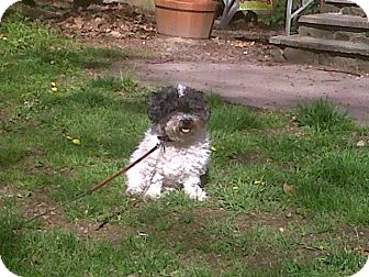 Bichon Frise/Poodle (Miniature) Mix Dog for adoption in Oak Ridge, New Jersey - Buttons