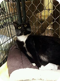 Domestic Shorthair Kitten for adoption in Freeport, New York - Tally