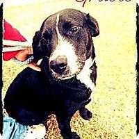 Adopt A Pet :: Gracie - Silsbee, TX