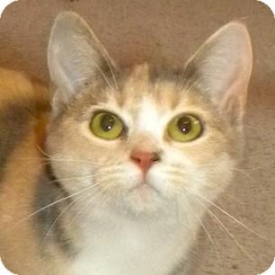 Domestic Shorthair Cat for adoption in Calgary, Alberta - Ginger Grant