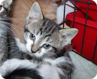 Domestic Shorthair Kitten for adoption in Muskegon, Michigan - Aria