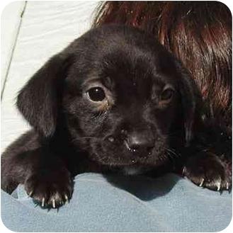 Labrador Retriever Mix Puppy for adoption in Rolling Hills Estates, California - Lab Pup 2