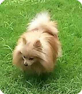 Pomeranian Dog for adoption in Houston, Texas - REIN (wren)