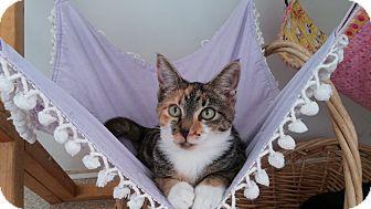 Domestic Shorthair Cat for adoption in Calimesa, California - Victoria