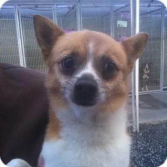 Pomeranian/Chihuahua Mix Dog for adoption in Westminster, California - Moses