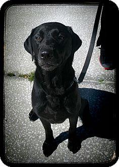 Labrador Retriever Dog for adoption in Tampa, Florida - Kiara