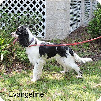 Cocker Spaniel Mix Dog for adoption in Slidell, Louisiana - Evangeline