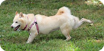 Shiba Inu Dog for adoption in Manassas, Virginia - Kishi