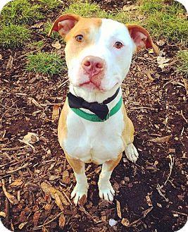 American Bulldog/Pit Bull Terrier Mix Dog for adoption in Oak Park, Illinois - Yahtzee