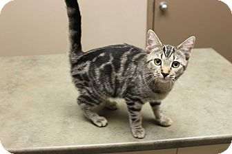 Domestic Shorthair Cat for adoption in Woodstock, Ontario - Ruby