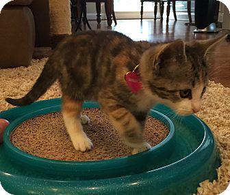 Domestic Shorthair Kitten for adoption in Birmingham, Alabama - Willow