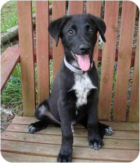 Labrador Retriever Mix Puppy for adoption in Kingwood, Texas - Hogan
