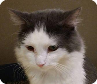 Domestic Longhair Cat for adoption in Pueblo, Colorado - Jumanji