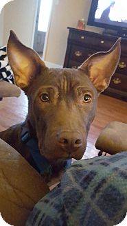Boxer/Pit Bull Terrier Mix Dog for adoption in PORTLAND, Maine - Choco