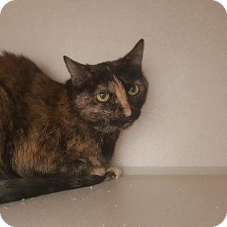 Domestic Longhair Cat for adoption in Denver, Colorado - Garland