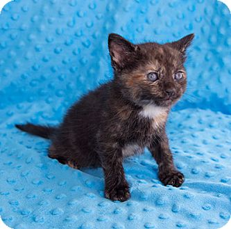 Domestic Shorthair Kitten for adoption in Tallahassee, Florida - Serena