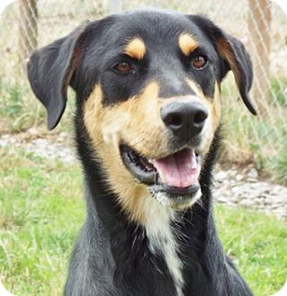 Shepherd (Unknown Type) Mix Dog for adoption in Grants Pass, Oregon - Fisher