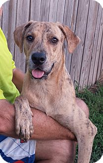Plott Hound/Labrador Retriever Mix Dog for adoption in Orange Lake, Florida - Tucker