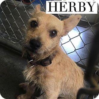 Cairn Terrier/Irish Terrier Mix Dog for adoption in San Antonio, Texas - Herby