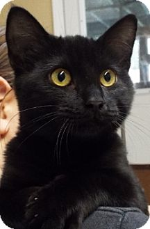 Domestic Shorthair Cat for adoption in Grants Pass, Oregon - China