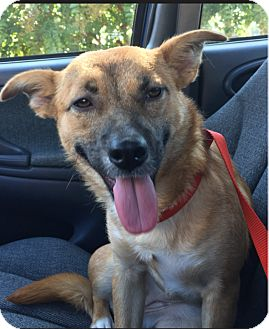 Australian Shepherd/Shepherd (Unknown Type) Mix Dog for adoption in Providence, Rhode Island - Lucy