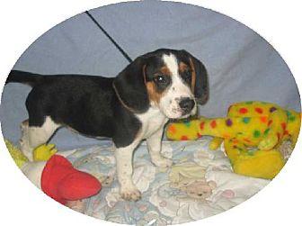 Beagle Puppy for adoption in Kankakee, Illinois - Benny