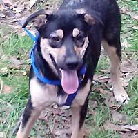 German Shepherd Dog/Hound (Unknown Type) Mix Dog for adoption in Houston, Texas - Ashley