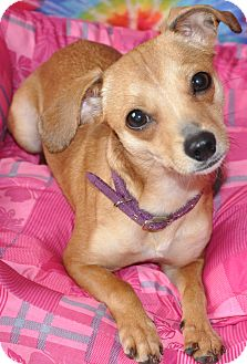 Chihuahua Mix Dog for adoption in Harrisonburg, Virginia - Pippi