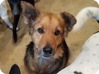 Shepherd (Unknown Type)/Chow Chow Mix Dog for adoption in San Antonio, Texas - Moses