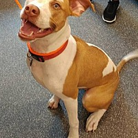 American Pit Bull Terrier/Pit Bull Terrier Mix Puppy for adoption in St Louis, Missouri - Brooks