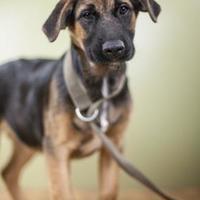 Adopt A Pet :: Zeppo - West Allis, WI