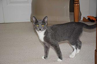 Domestic Shorthair Kitten for adoption in Waldorf, Maryland - Ellie