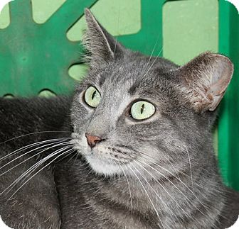 Domestic Shorthair Cat for adoption in Battle Creek, Michigan - Hissy Kissy