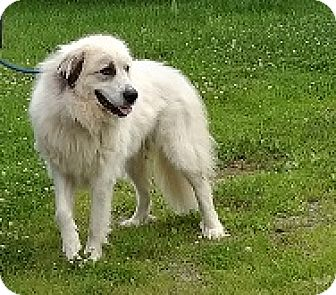 Great Pyrenees Dog for adoption in Lee, Massachusetts - Delilah - in NY