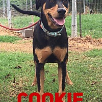 Adopt A Pet :: Cookie 2 in CT - East Hartford, CT