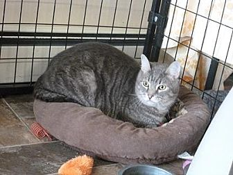 Domestic Shorthair Cat for adoption in Massapequa, New York - Ethan