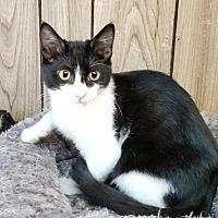 Adopt A Pet :: Kitten 15873 - Parlier, CA