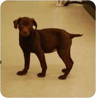 Vizsla/Weimaraner Mix Puppy for adoption in Gallatin, Tennessee - CANDY