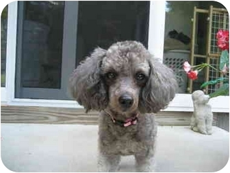 Poodle (Toy or Tea Cup) Dog for adoption in Dover, Massachusetts - Sasha