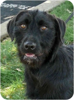 Irish Wolfhound/Labrador Retriever Mix Dog for adoption in Sacramento, California - Fiona  URGENT
