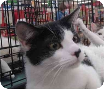 Domestic Shorthair Cat for adoption in Washington, Pennsylvania - Tootsie