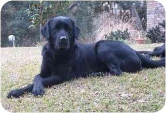 Anatolian Shepherd/Labrador Retriever Mix Dog for adoption in Houston, Texas - Gib