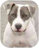 American Pit Bull Terrier/American Bulldog Mix Dog for adoption in Malibu, California - POPPET