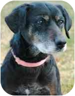 Labrador Retriever Mix Dog for adoption in Torrance, California - Bessie
